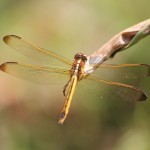 Sunday Afternoon in the backyard is filled with dragonflies.  Photos by Ethan Marten